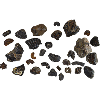 Collection of fossils from Lower Cretaceous Albian 100 million years old Ammonite gastropod etc… GB13