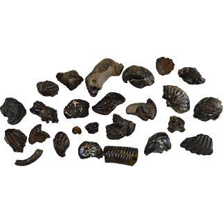 Collection of fossils from Lower Cretaceous Albian 100 million years old Ammonite gastropod etc… GB14