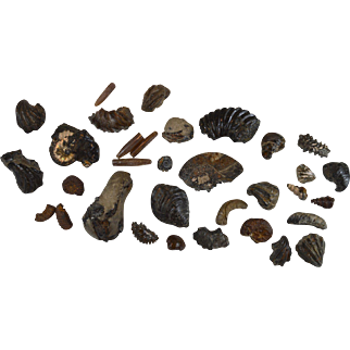 Collection of fossils from Lower Cretaceous Albian 100 million years old Ammonite gastropod etc… GB15