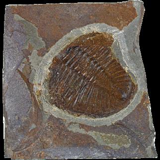 Ogyginus Corndensis trilobite 480 million year old fossil freestanding display