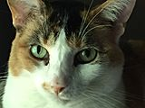 Calico Cat Collectibles
