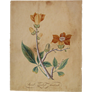 18th c. large botanical WATERCOLOR Sweet Scented Sudrah
