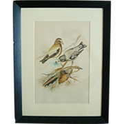Vintage Watercolor Painting of Evening Grosbeak Yellow-Billed Cuckoo Birds Framed by Dorothy Griffith