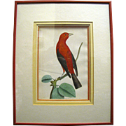 """Shaw & Nodder 1796 Antique Hand Colored Copper Plate # 234 from """"The Naturalist's Miscellany"""", Beautifully Framed"""
