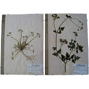 9 French Herbarium Pages c1929 Plant Specimen Vintage Botanical Art