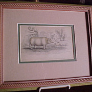 Chinese Hog Antique Hand Colored Steel Engraving 1836