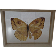 Early 1900's Specimen Butterfly Moth Slide Mount