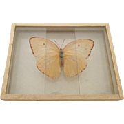 Vintage 1905 dated Butterfly Moth Slide Mount Callidryas Eubule