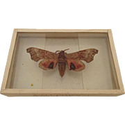 Dated 1905 Smerinthus Geminatus Hawk Moth Butterfly Moth Slide Mount