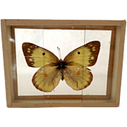 Vintage Early 1900's Butterfly Moth Specimen Slide Mount