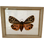 Dated 1905 Butterfly Moth Specimen Slide Mount Apantesis Virgo The Virgin Tiger Moth