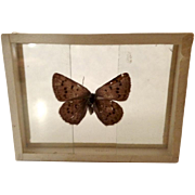 Dated 1909 Specimen Moth Butterfly Slide Mount Epidemia