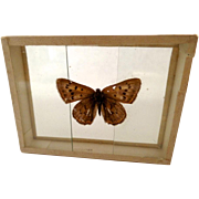 Dated 1909 butterfly Moth Specimen Slide Mount Chrysophanos Thoe