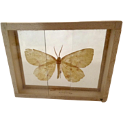 Xanthotype Crocataria Butterfly Moth Specimen Slide Mount Dated 1905
