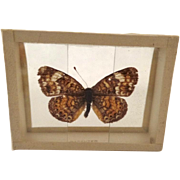 Vintage Specimen Butterfly Moth Slide Mount Phyoidies Tharos Dated 1909