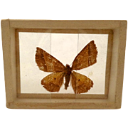 Dated 1905 Butterfly Moth Specimen Slide Mount Gonavontis  Obfirmaris