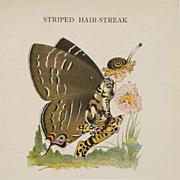 Butterfly Babies-Striped Hair Streak And Banded Hair Streak