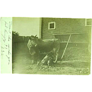 Unusual 1910 Real Photo Postcard of 2 Pigs Nursing On a Cow