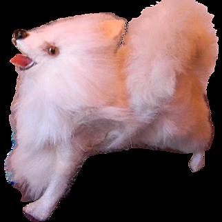 Salon Dog, Spitz or Pomeranian, Adorable!