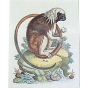 "George Edwards color Engraving ""Little Lion Monkey"" dated 1750"