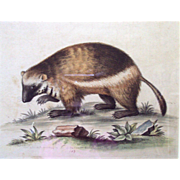 "George Edwards color Engraving ""Badger"" dated 1749"