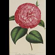 Philipson Camellia