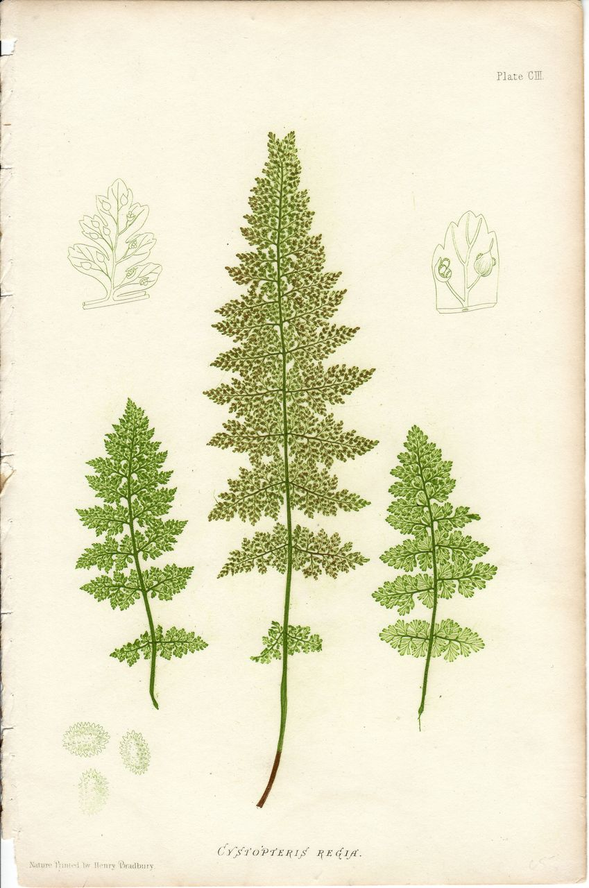bradbury fern botanical print cystopteris regia
