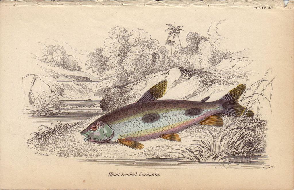 Jardine- Blunt-toothed Curimata