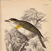 Jardine Cuvier's Thick-Bill
