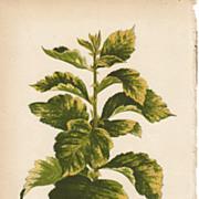 Lowe Beautiful Leaved Plants Botanical Print- Crataegus