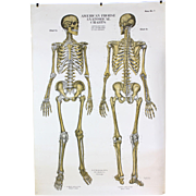 American Frohse Anatomical Chart Human Skeleton  1918 Copyright