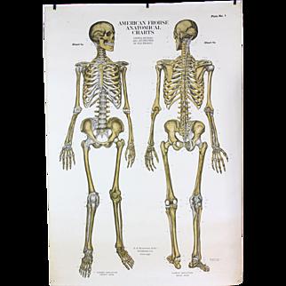 American Frohse Anatomical Chart Human Skeleton  1918 Copyright