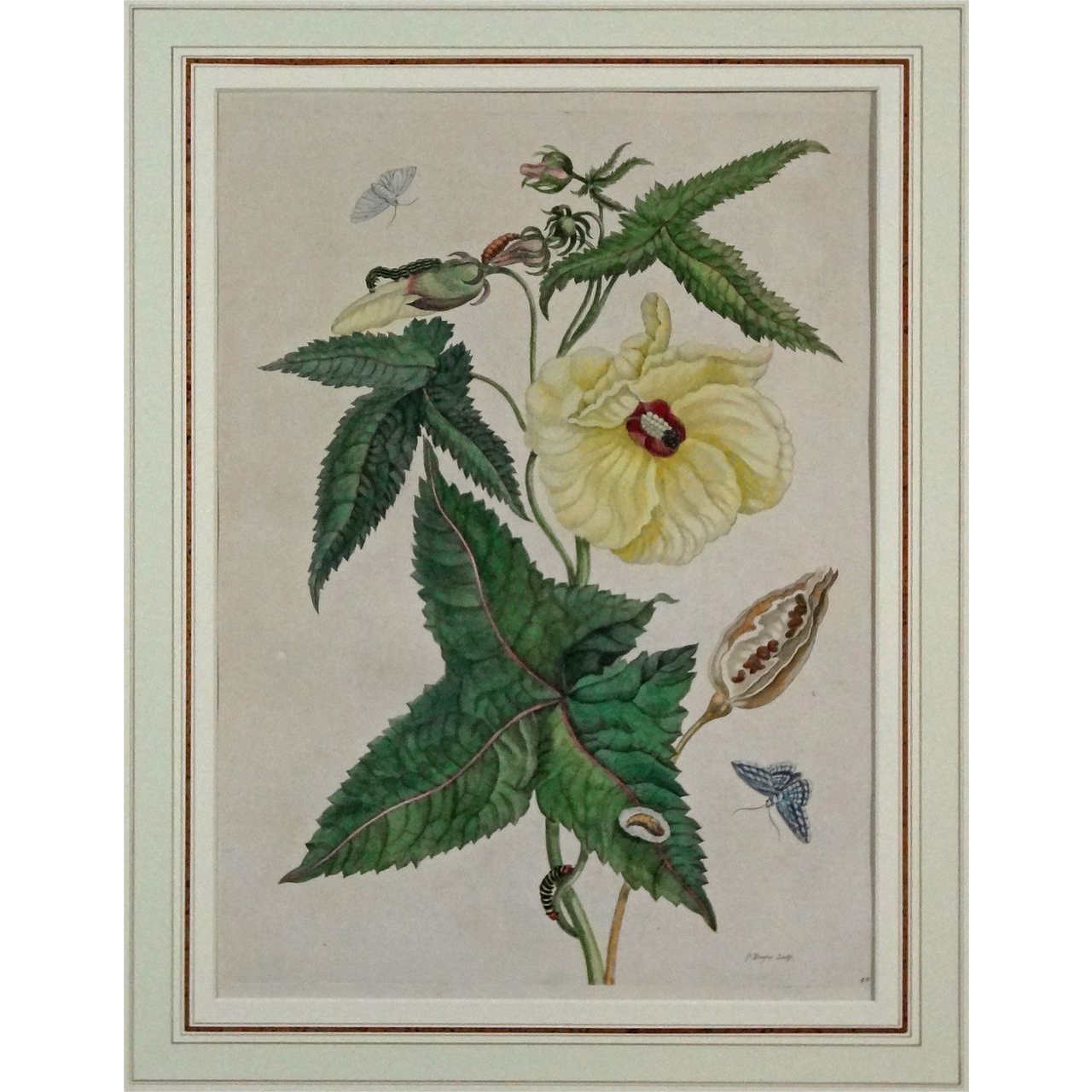 Metamorphosis Hibiscus Botanical Copper Engraving P. Sluyter Plate 42 Color  - The Netherlands