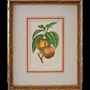 Belgian Botanical Lithograph Peach Brugnon Coulon De Pannemaker & Fils - circa 19th Century, Belgium