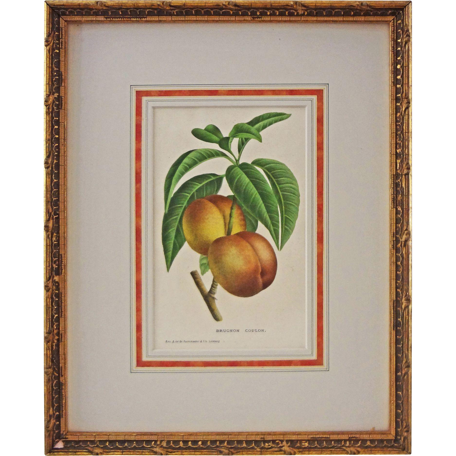 Peach Botanical Lithograph Brugnon Coulon De Pannemaker & Fils - circa 19th Century, Belgium