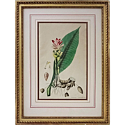 Antique Botanical Curcuma Zerumbet, Roxburgh Plants of the Coast of Coromandel - 1819, England
