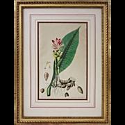 Antique Botanical Curcuma Zerumbet, Roxburgh Plants of the Coast of Coromandel - 1819, England