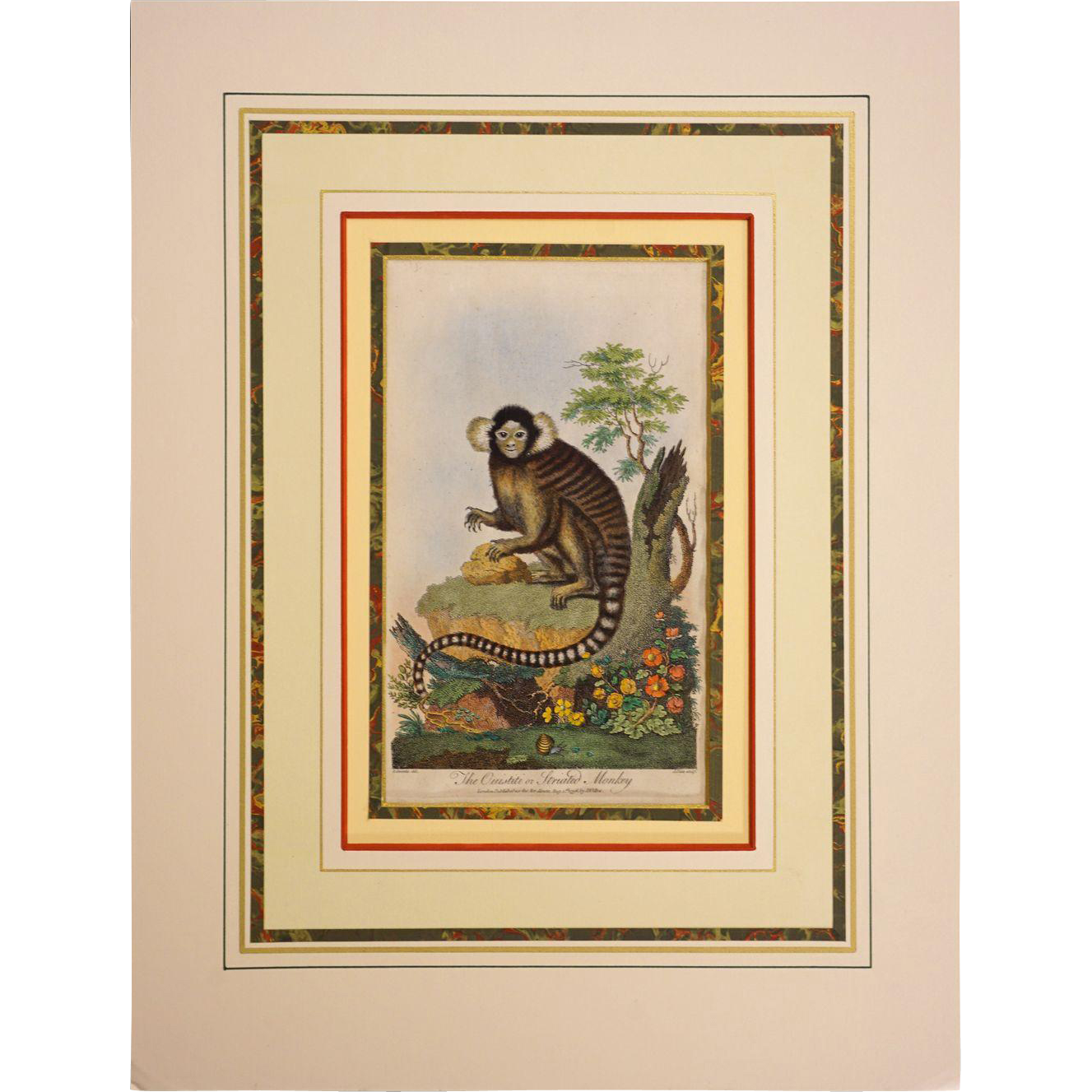 18th Century The Oustiti or Striated Monkey Copper Engraving Matted - 18th Century, London