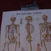 The Skeletal System Wall Chart, 1947, A Peter Bachin Chart