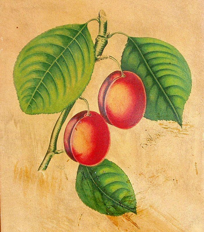 Vintage 1930's Framed Botanical Print Isabella Apricots S. Z. Lucas