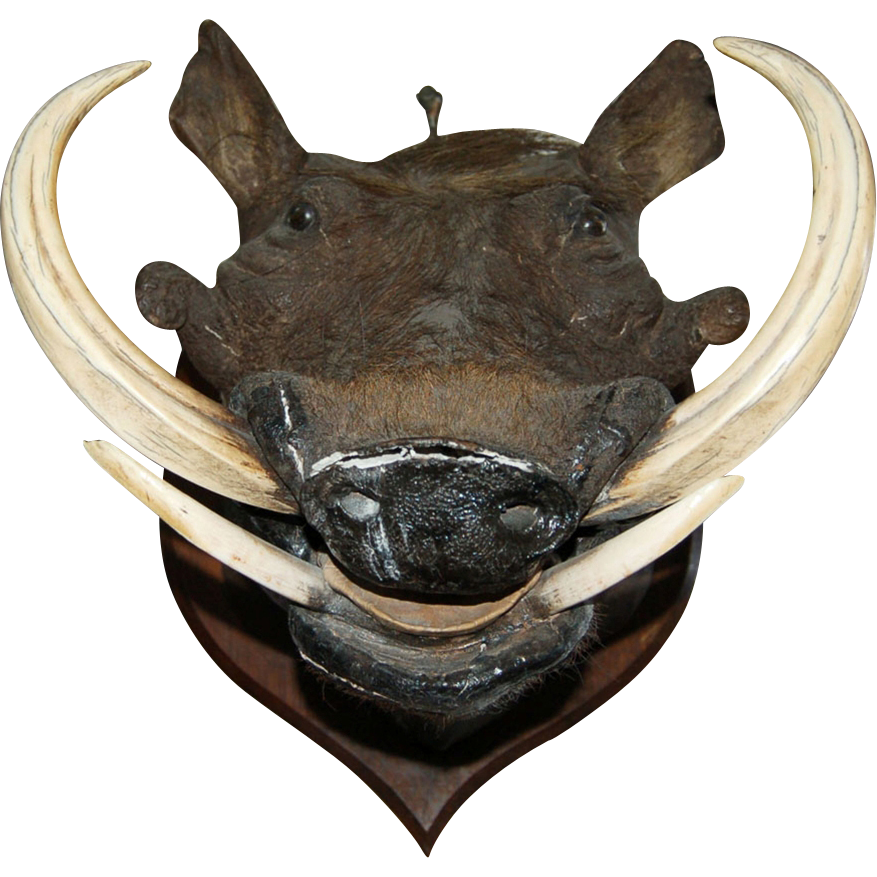 7508 Large Wild Boar's Head Trophy with Teeth & Tusks