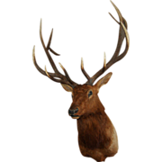 7511 Handsome Elk Head with Large Antlers