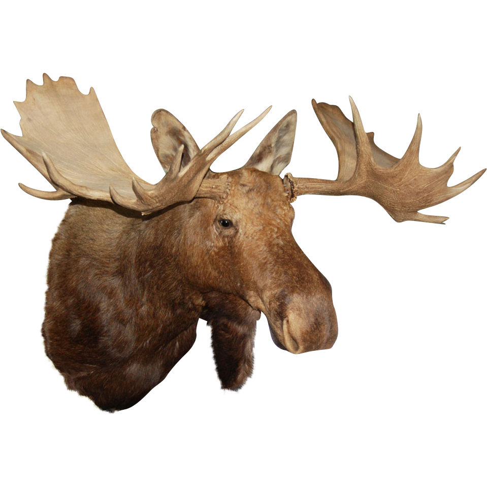 7512 Handsome Moose Head with Large Antlers