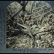 Cocoa Trees - Keystone Stereo View