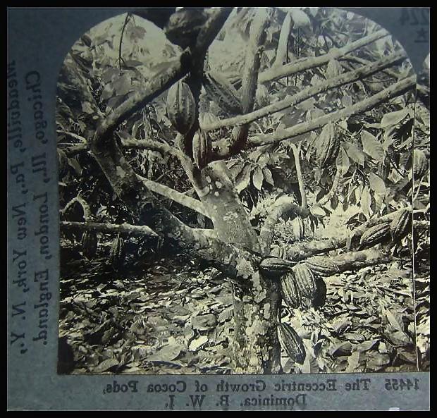 Cocoa Trees - Keystone Stereo View