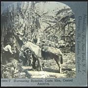 Harvesting Bananas - Keystone Stereo View