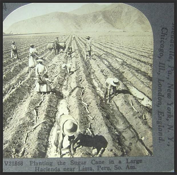 Natives Planting Sugar Cane - Keystone Stereo View