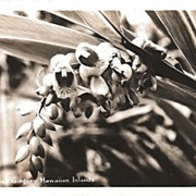 Real Photo Postcard of Shell Ginger Growing on the Hawaiian Islands