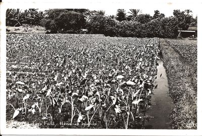 Real Photo Postcard of Taro Field in the Hawaiian Islands