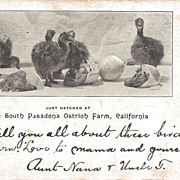 Postcard of Baby Ostrich Hatched in California